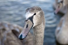 Close-up young swan Stock Photo