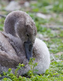 The close-up of the young swan with the flowers Royalty Free Stock Photo
