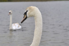 Close up of Young Swan Stock Image