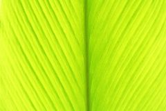 Young turmeric leaf,green leaves background royalty free stock image