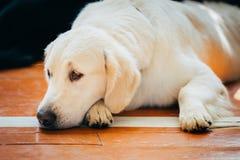 Close Up Young White Golden Labrador Retriever Dog Royalty Free Stock Photography
