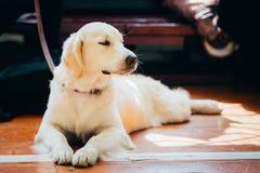 Close Up Young White Golden Labrador Retriever Dog Stock Images