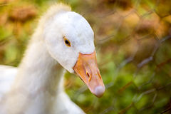Close-up of young white goose and abstracted chain link fence Royalty Free Stock Image