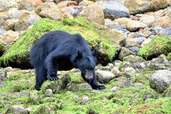Black bear watching in Ucluelet, Vancouver Island, British Columbia, Canada stock photo