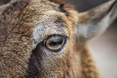 Close-up of Young Wild Sheep Eye royalty free stock image