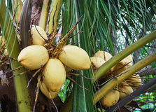 Close up of young yellow coconuts in the garden. Royalty Free Stock Image