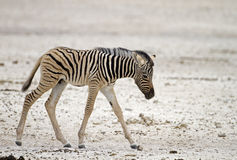 Close-up of a young zebra. Walking over sandy plains; Equus burchelli royalty free stock photo
