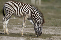 Close-up of a young zebra. Grazing on green grass; Equus burchelli royalty free stock image