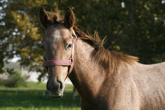Close-up of a youngster horse in summer paddock Royalty Free Stock Image