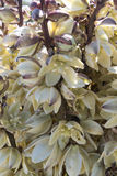 Close Up of Yucca Blooms Royalty Free Stock Image