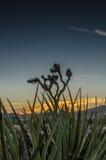 Close Up of Yucca with Josha Tree at Dusk Stock Photo