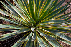 Close up of yucca plant in flower bed. Royalty Free Stock Photos