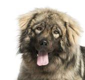 Close-up of a Yugoslav Shepherd Dog panting, 1 year old Royalty Free Stock Photos