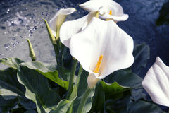 Close up  zantedeschia  aethiopica in spring time Stock Images