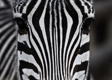 Close up zebra. Monochrome close up photo of a black and white stripped Zebra Stock Photos