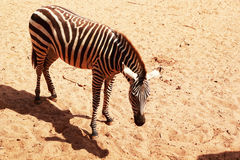 Close-up of the Zebra. Royalty Free Stock Photo