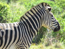 A close up of a zebra. A close up of a zebra in Africa, in the Addo Elephant National Park, in South Africa Stock Image