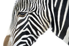 Close up of a zebra Royalty Free Stock Photos