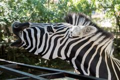 Close-up of a Zebra barking with open mouth, screaming, SOS.  Stock Photo