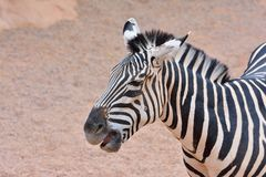 Close-up of zebra Stock Photos