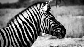 Close-up of a zebra in black and white stock images