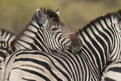 Close-up of zebra in Botswana Stock Image
