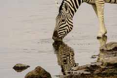 Close up of a Zebra drinking and its reflection in the water Royalty Free Stock Image