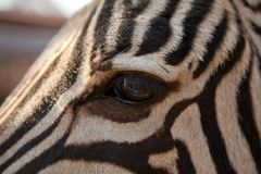 Close-up of zebra eye Stock Photography