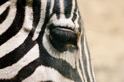 Close-up of zebra eye with long eyelashes Royalty Free Stock Photography