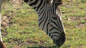 Close up of a zebra grazing on the savanna stock video
