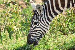 Close-up of zebra grazing in savanna Royalty Free Stock Image