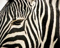 Close up of zebra head Stock Images