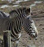 Close up zebra head in Denver Zoo stock photo