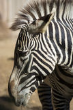 Close- up of zebra head Royalty Free Stock Images