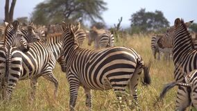 Close Up of Zebra Herd in Meadow of African Savannah. Exotic Animals Safari