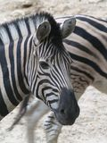 Close-up of a Zebra Making Eye Contact royalty free stock photos