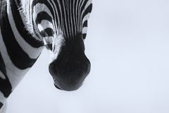 Close-up of a Zebra mouth in an artistic conversion Stock Photos