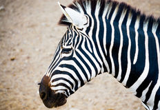 Close up of a zebra`s head Royalty Free Stock Images