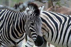 Close up of zebra. In the savanna - south africa Royalty Free Stock Photos