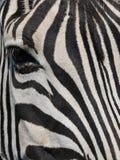 Close up Zebra Stock Photography
