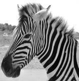 Close up Zebra Royalty Free Stock Photo