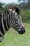 Close up of Zebra Stock Photography