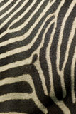 Close up of zebra stripes. An interesting pattern created with a telephoto view of a zebra's coat Royalty Free Stock Image
