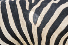 Close up zebra stripes texture and background. Stock Photos