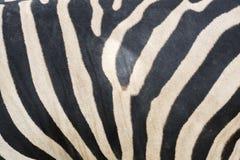 Close up zebra stripes texture and background. Stock Photos