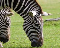 Close-up of the zebras eating the grass Stock Photo