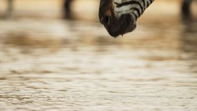 Close Up of Zebras Head Drinking Water at Watering Hole royalty free stock images