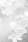 Close up of Zephyranthes lily in monochrome Royalty Free Stock Photo