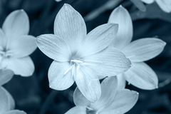 Close up of Zephyranthes lily in monochrome Stock Photo