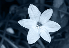 Close up of Zephyranthes lily in monochrome Royalty Free Stock Photos